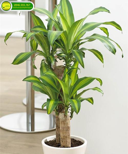 cây để trong văn phòng
